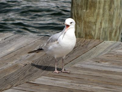 "Bird on a dock, with its mouth open.  It looks to me like it's saying, ""Hey, Bill!  It's over here!"""