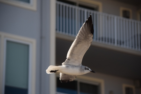 Sea gull in flight.