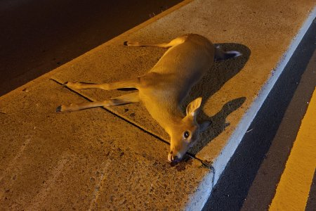 Dead deer in the median of Hungerford Drive