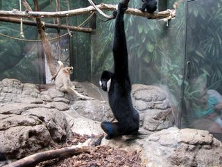 """The gibbon enclosure. I love the expression on the gibbon closest to the camera, as he's like, """"Oh, hey, what's up."""""""