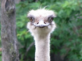 Straight-on photo of the ostrich's face. That's got nightmare potential right there, no?