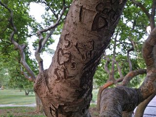 This tree contained many carvings on its limbs. I have no idea how old these are, but based on past experiences in DC, these sorts of carvings can last for decades.