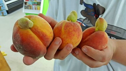 We eventually ended up at the Ocracoke Variety Store, back at the east end of town. There, Elyse was amused by these peaches, which had something coming out of the top end of them.