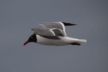 A sea gull flies overhead.
