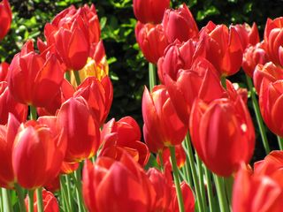 On April 26, before joining the World Bank protest, I stopped to smell the tulips. There were some absolutely beautiful tulips in bloom in Dupont Circle, and I hope to convey how wonderful they were in these shots...