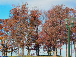 On JMU's east campus, this grove of trees is a dark maroon, nearly ready to shed its leaves for winter.