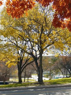 Looking towards Godwin Hall (in the background), we stand in the shade of orange leaves, while viewing gorgeous yellow leaves ahead of us.