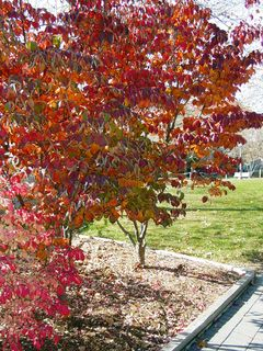 Nearer to the quad, we find a tree that's a gorgeous dark red, with a little green remaining in places.