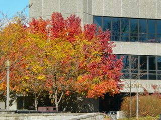 One of the most beautiful trees on campus is located in front of Carrier Library, with leaves of green, red, yellow, and orange all together.