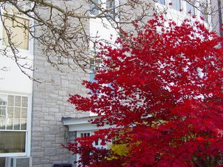 Along the breezeway, this tree displays branches full of bright red leaves.