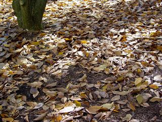 Looking down, a blanket of leaves hides the ground.