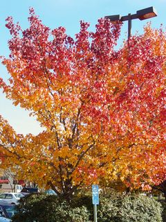 What a beautiful sight, with the tree naturally fading from yellow to orange to red!