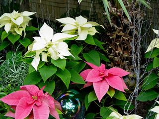 As this photo set was made the day after Thanksgiving, Christmas was in the air, as different-colored poinsettias were to be found...