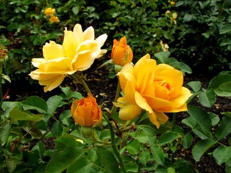 Honey Perfume Floribunda Rose