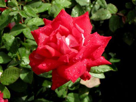 Lilli Marleen Floribunda Rose