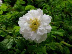 Hybrid Rugosa Rose