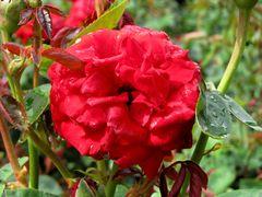 Ingrid Bergman Hybrid Tea Rose