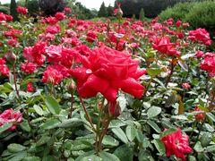 Love Grandiflora Rose