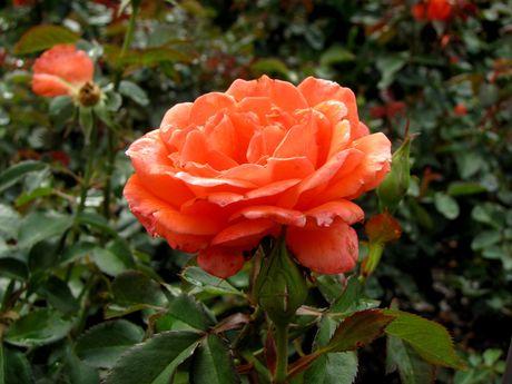 Candelabra Grandiflora Rose
