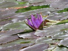 Ultra Violet Tropical Waterlily