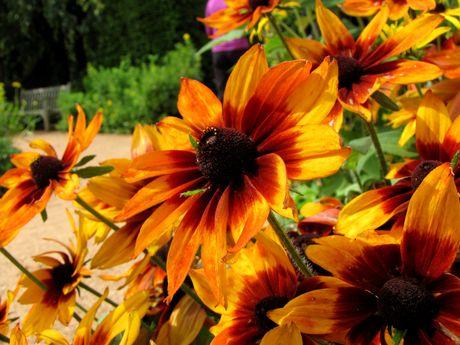 Autumn Colors Black-eyed Susan