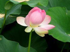 American Water Lotus