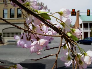 Even though spring was already in full swing, the trees downtown were not in bloom. For Evan Almighty, they fixed that without much problem, wiring plastic flowers to the branches.
