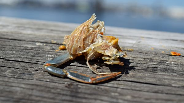 Leg of a blue crab on the railing of a fishing pier at the Elizabeth River Boat Landing Park in Chesapeake, Virginia.