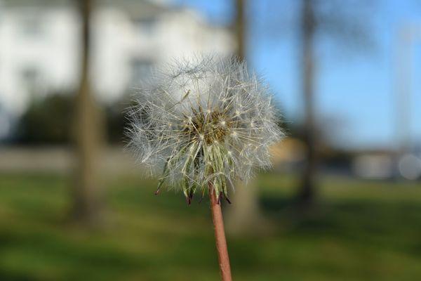 Dandelion seed head on a lawn in Virginia Beach, Virginia.