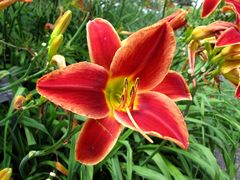 Orange daylily, 2013