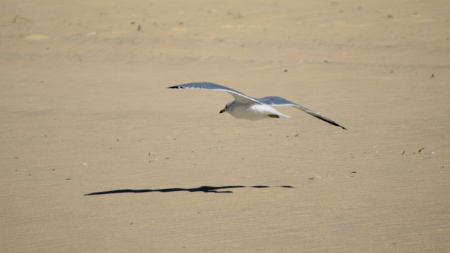 Sea gull flying low over the beach.