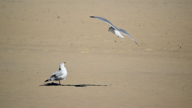 Sea gull flying low over the beach while another looks on.