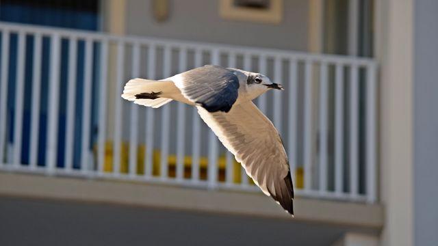 A sea gull flies down the boardwalk.