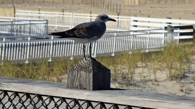 A sea gull stands on the Ocean City Fishing Pier.