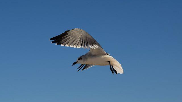 Sea gull in flight.