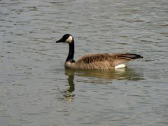 A Canadian goose swims in the James River.