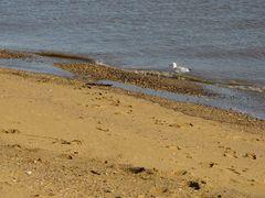 Sea gull along the water's edge.