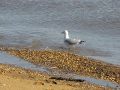 Sea gull walking in the water.