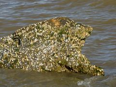 Barnacle-encrusted rock in the water near the southeast corner of the park.