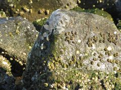 Rock covered with barnacles and ice in the southeast corner of the park.