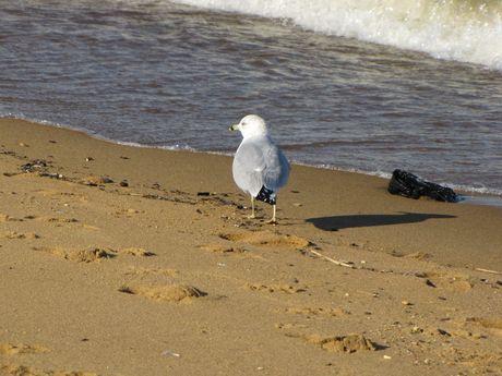 Sea gull walking near the water on East Beach.