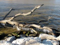 Downed tree limb, with icicles hanging from its lower areas.