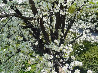 Looking here, we find the lacy appearance of the most common blossoms of all... the Dogwood tree.