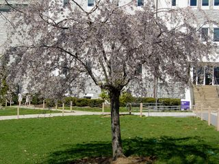 Outside Burruss Hall, this short tree takes on a slightly purple color...