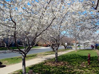 Along the street next to Burruss Hall, more white flowers create an exciting avenue.