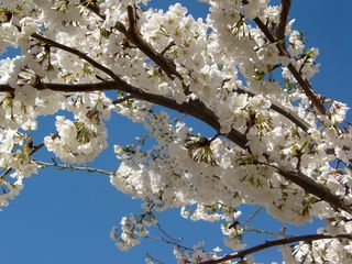 A close look at a branch reveals the sheer amount of blossoms on these trees!