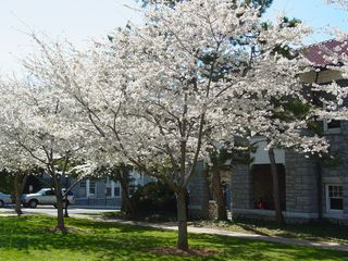 Alongside Johnston Hall, we find another row of white-flowered trees, which make for quite a sight.